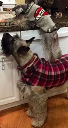 Doggie teamwork. Adorable Scotty dogs. - more funny things: http://hotfunnystuff.com