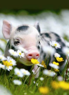 Baby Piglets, Mini Pigs, Country Living, Animals, Mini Teacup Pigs, Country Life, Animales, Animaux, Animal