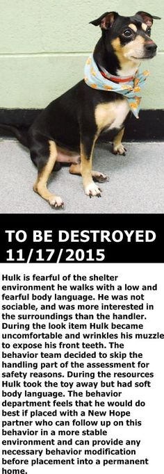 Manhattan Center My name is HULK. My Animal ID # is A1057695. I am a male black and brown min pinscher and chihuahua sh mix. The shelter thinks I am about 4 YEARS old. I came in the shelter as a STRAY on 11/12/2015 from NY 10027, owner surrender reason stated was STRAY. http://nycdogs.urgentpodr.org/hulk-a1057695/