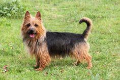 Australian Terrier | 2puppies.com