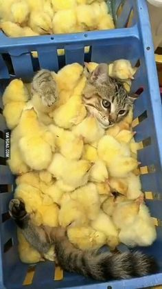 Pets Care - Baby chicks and kitten The way cats and dogs eat is related to their animal behavior and their different domestication process. Cute Funny Animals, Funny Animal Pictures, Cute Baby Animals, Animals And Pets, Cute Cats, Farm Animals, Funny Cats, I Love Cats, Crazy Cats