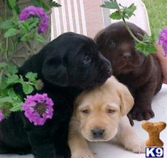 Labs.......my favorite puppies and one in each color. How cool is that!!!!