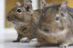 Chilean Degu, yet another adorable rodent out of my reach, :(