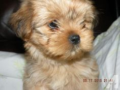 for sale, Adorable Yorkinese Teddy Bear Puppies - We have 3 Yorkinese Puppies available 2 . Americanlisted has classifieds in Arbor Hill, Iowa for dogs and cats. Kennel hounds, dogs and all kinds of cats Teddy Bear Puppies, Cute Baby Puppies, Puppies For Sale, Cute Babies, Yorkie Puppy, New Puppy, Puppy Love, Kinds Of Cats, Dog Cat