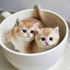 Cute Animals Names To Call Your Boyfriend by Cutest Kittens In The World Pics; Cute Baby Cats, Cute Little Animals, Cute Cats And Kittens, Cute Funny Animals, I Love Cats, Crazy Cats, Ragdoll Kittens, Kittens Cutest Baby, Tabby Cats
