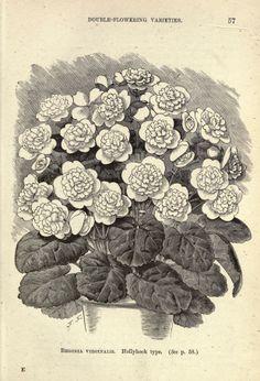 The tuberous begonia, - Biodiversity Heritage Library