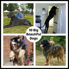 10 Beautiful Big Dogs (Photos)