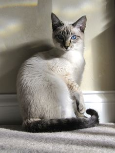 Ah, he looks like my Perry Siamese Kittens, Cute Cats And Kittens, I Love Cats, Crazy Cats, Cool Cats, Animals And Pets, Baby Animals, Cute Animals, Wild Animals