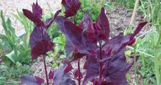 Loboda roșie - află ce beneficii are consumul acestei legume.  #loboda #legume #verdeturi #alimentatie #sanatate Plant
