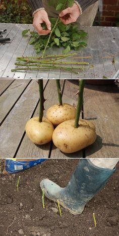 Regrow roses!!! My neighbor has a row of roses, which he took as cuttings. I asked how he took them. He simply plunges the cuttings into the ground. But his secret of success is the humble potato! Before planting cuttings, he pushes the bottom end into a small potato, which he believes keeps the cuttings moist as they develop roots. It sounds crazy, but his row of allotment roses is proof it works. (quote from link)