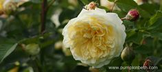 Elegantly perfumed roses to plant this winter - Pumpkin Beth Cut Flowers, Yellow Flowers, Winter Garden, Winter Time, Beautiful Roses, Gardening Tips, Stuff To Do, Pumpkin, Perfume