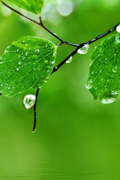 Pure Fresh Dew Leaf Branch Over Water #iPhone #4s #wallpaper