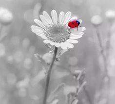 Joaninha, é um insetos coleópteros da família Coccinellidae. Os cocinelídeos possuem corpo semiesférico, cabeça pequena, 6 patas muito curtas e asas membranosas muito desenvolvidas, protegidas por uma carapaça quitinosa que geralmente apresenta cores vistosas. Podem medir de 4 a 8 milímetros, vivendo até 180 dias.