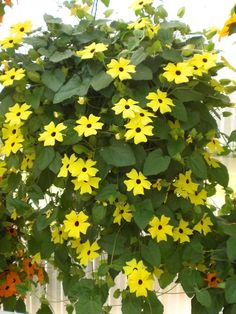 """Thunbergia 'Serengeti Yellow' - Commonly known as Black eyed Susan vine they are always a welcome addition. They will climb if given support or trail from a basket. Height 48""""."""