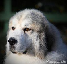 Euzkadi - Pyrenean Mountain Dog (Great Pyrenees) Breeder - Lewis  Such a beautiful boy xxxx