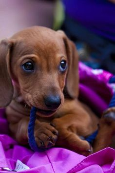 Dachshund chewing a rope beautiful puppy eyes