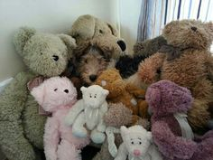 Wire Fox Terrier - ★Spot the odd one out★