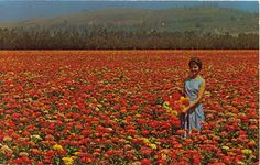 """""""Burpeeana Giant Zinnias Growing for Seed on Floradale Farms in California.Many of the world';s best-known flowers have been developed on these seed farms. The once scraggly zinnia is now a top garden choice and semi-dwarf beauties, like those shown here, grow flowers up to six inches across."""