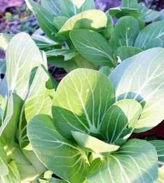 Under any name, bok choy deserves a place in every fall garden for these reasons: