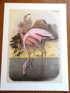 Large Bird Print, Vintage Chromolithograph, Pink Flamingo by moosehornvintage on Etsy https://www.etsy.com/listing/217315478/large-bird-print-vintage