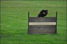Bouvier des Flandres in Working Dog Sport jumping event.