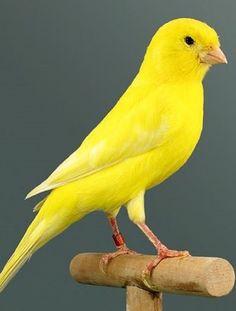 Alas but beautiful ! Rare Birds, Exotic Birds, Colorful Birds, Yellow Birds, Pretty Birds, Beautiful Birds, Animals Beautiful, Animals And Pets, Cute Animals