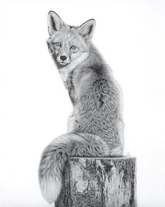 """308 Likes, 22 Comments - Githa van Eeuwen (@githaveeuwen) on Instagram: """"Red fox graphite drawing, 30x40 cm (approx. 12x16 inch). . . . #fox #vulpes #graphitedrawing…"""""""