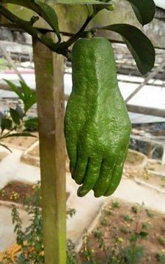 No Green Thumb? --Creepy Avocado: I'm wondering where the green thumb is. This is one scary looking piece of fruit. Weird Fruit, Funny Fruit, Strange Fruit, Weird Plants, Unusual Plants, Exotic Plants, Strange Flowers, Rare Flowers, Beautiful Flowers
