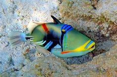 Picasso Trigger fish. Policeman fish, look at his blue policeman light on top of his head. :)