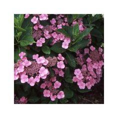 Hortensia 'Mousmée '  1m30  juillet à septembre  caduc