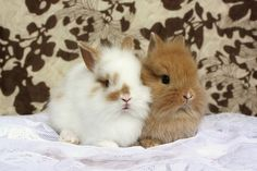 lovely little lionheads...sweet buns