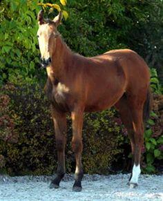 Pferde zu verkaufen: Born to win