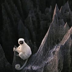Check out this Decken's sifaka lemur hanging out in the Grand Tsingy in Madagascar - an incredible forest of limestone spires.   In Malagasy 'tsingy' means 'where one cannot walk barefoot'. The Grand Tsingy is largest stretch of tsingy forest on Earth lying across 375600 acres with some rock pinnacles reaching 2600 feet.   Photo: @salvarezphoto for @natgeocreative ----------------------------------------------------      #wild #lemur #madagascar #tsingy #grandtsingy #beautiful #wildlife…