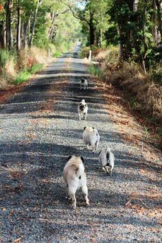 The pug road less taken