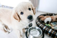 Pet Parents Teaching Dogs to Talk   Apartment Therapy Cute Puppies, Dogs And Puppies, Doggies, Large Breed Puppy Food, Small Breed, Puppy Starter Kit, Best Puppy Food, Education Canine, Labrador Puppies