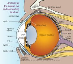 Figure 1 - Anatomy of the eye and surrounding structures.png (600×527)