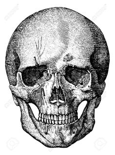 Bony Skeleton Of The Face And The Anterior Part Of The Skull ...