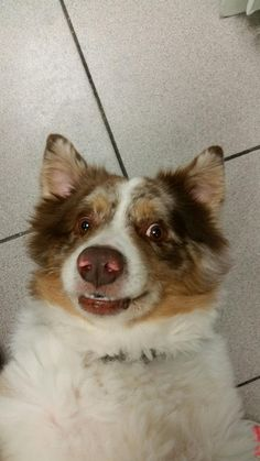 Someone didn't get the memo that National Selfie Day was last week! This awesome Australian Shepherd named Tiberius came in to see our Internists for his IBD and is currently hanging out with our IMC Technicians while we devise a plan to manage his condition. In the meantime, he's enjoying being the center of attention and yes, all of his photos are this amazing. ‪#‎letmetakeaselfie‬ ‪#‎GCVS‬ ‪#‎australianshepherd‬