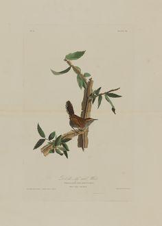 Print depicting Bewick's long tailed wren, Plate No. 18 of Birds of America, by John James Audubon, London, England.