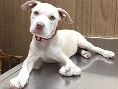 An adorable white puppy was dumped at a shelter in San Bernardino, California just because she was born different.  The sweet puppy, now named Clementine, has a deformed paw. Usually dogs like this do not make it out of a shelter, …