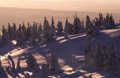 Crown snow trees in Ruka Ski Resort, Finnish Lapland