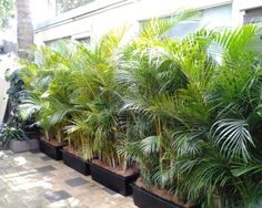 Golden cane palm hedge screen to cover courtyard fence
