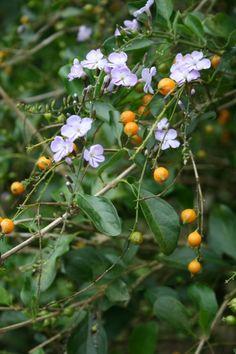 Duranta erecta (Verbenaceae) - Дюранта прямостоячая (Вербеновые) http://botalex.livejournal.com/pics/catalog/708/2627