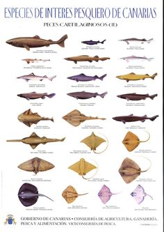 Aquí les dejo las especies de peces que se encuentran en Las Islas Canarias. PELÁGICOS CARTILAGINOSOS1 CARTILAGINOSOS2 OSEOS DE PROFUNDI...