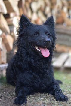 Hungarian Dog, Bow Wow, Bird Feathers, Dog Breeds, Puppies, Pets, Pet Stuff, Animals, Doggies