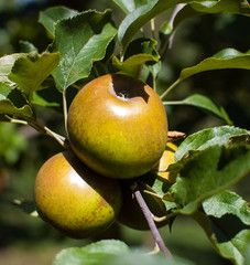 It's an apple son but not as you know it. Egremont Russett is the real ale of apples - full of flavour and body. Pear Trees, Fruit Trees, Apple Varieties, Ale, Garden, Plants, Country, Food, Rural Area
