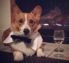Loki a Corgi is ready for his date night with his fancy water glass and handsome Fetch Dog Fashions bow tie!!! Get this bow tie for $9.99-10.99 www.fetchdogfashions.com #corgi #corgistagram #bowtie