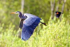 Great Blue Heron and Red-­winged Blackbird flying in Burnaby Lake, BC, Canada. Photo credit: © Tulus Simatupang