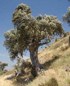 Olive tree near St. Petrus Church in Antakya (ancient Antioch), Turkey...