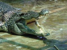 Krokodil im Cat Tien Nationalpark - #AsiaticaReisen